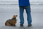 Long haired dachshund with master on beach,Crescent City,California