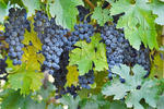 Wine grapes, Napa Valley, California USA