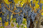 Wine grapes, autumn color, Napa Valley, California USA,