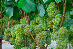 Vineyard grapes, Napa Valley, California USA
