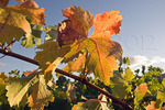 Grapevine detail, autumn color, Napa Valley, California USA