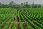 Orderly rows of grape vines, Napa Valley, California, USA
