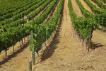 Orderly rows of grapevines in biodynamic wine country vineyard, Sonoma County, California USA