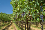 "Orderly rows of grapevines in biodynamic wine country vineyard, ""Valley of the Moon"", Sonoma County, California USA"