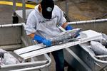 Fisheries biologist measuring tuna at tuna at seafood processing plant, Ilwaco, Washington USA