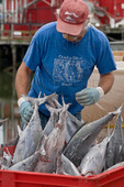 Worker at seafood processing plant receiving dock - sorting and transferring albacore tuna, Port of Ilwaco, Washington USA