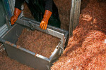 Laborer loading pink shrimp into hoist bucket 