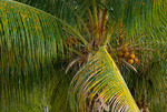 Palm tree detail, Frederiksted, St Croix, US Virgin Islands