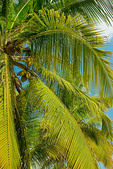 Detail of palm tree, St Croix, US Virgin Islands