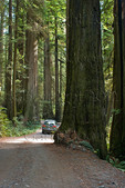 Primitive road through old growth coast redwood forest, Jedediah Smith Redwoods State Park, Crescent City, California