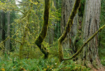 Understory trees with coast redwood, Sequoia sempervirens, in old growth coast redwood forest, Prairie Creek Redwoods State Park, California