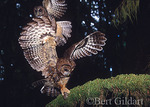 Spotted Owls swoop down on mouse