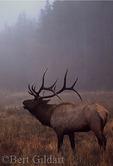 Bull Elk In Mist