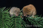 Oregon Tree Vole