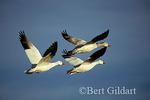 Snow Geese, Bosque Del Apache