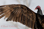 Turkey Vulture, drying wings