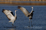 Courtship Dance of Sandhill Crane pair