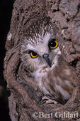 Saw Whet owl readily take to burned over areas. 