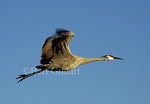 Sandhill Crane in flight, Bosque del Apache Wildlife Refuge