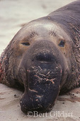 Elephant Seal, Channel Islands National Park
