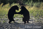 "Black bears ""dancing"" along Yukon River"