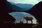 Mountain goat strikes dramatic pose