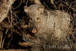 Javelina, Big Bend National Park