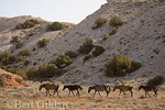 Wild horses, Pryor Mountains