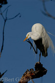 Great While Egret