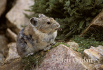 Pikas, a global warming indicator