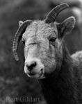 Bent Horn Ewe