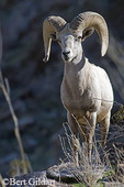 Endangered Penninsular Desert Bighorn Sheep