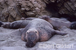 Northern Elephant Seal (Mirounga angustirostris) bull finds secluded nuck in which to guard harem against instrusion from other males; Channel Island National Park, San Miguel Island; California. USA