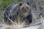 Grizzly bear (Ursus arctos horribilis), just about ready to go into hibernation; Glacier National Park, Montana. USA