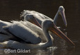 White pelicans in Everglades National Park.
