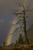 Rainbow in Many Glacier Valley backdrops old snag, Glacier National Park; Montana. USA