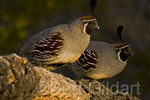 Gambel's Quail (Callipepla gambelii), male, Organ Pipe National Monument, Arizona. USA