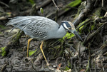 Yellow-crowned Night-Heron (Nyctanassa violacea) staking the marhes of the Ding Darling National Wildlife Refuge; Sanible Island, Florida. USA