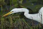 Great Egret (Ardea alba), Everglades National Park, Florida. USA