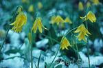 Glacier lilies, spring, Glacier National Park, Montana
