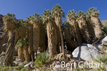 Palm Oasis, Anza Borrego Desert State Park, California.