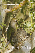 Hummingbird, Anza Borrego Desert State Park, California