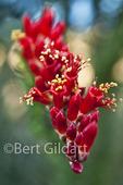 Ocotillo in bloom following winter rain, Anza Borrego Desert State Park; California.