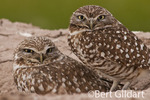 Burrowing owls, from Sony Bono WL Refuge