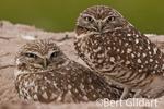 Burrowing owls, from Sony Bono WL Refuge