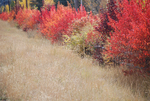 Fall Color, Sun Valley, ID