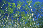 Aspen trees in spring foliage