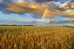 rainbow and storm clouds in wheat