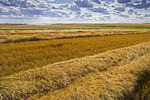 wheat swaths