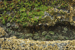 Anemones in water pool with seaweed and barnacles